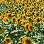 Yes, sunflowers are everywhere in June and July!