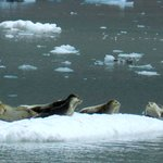 Harbor seals on the ice at Northwestern Glacier