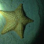 1 foot wide starfish