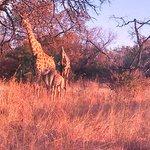 Familia de Girafas