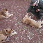 Filhotes de leão com a guia
