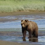 Hallo Bay Bear