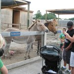 "Rare ""zonkey"" and ""Zorse"" at the zoo there...Look it up on-line!"