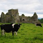 Hore Abbey and the cows are across the street