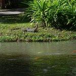Resident monitor lizard