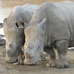 Two young rhino's who were having a wonderful time playing - so amazing to see.