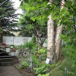 Backyard and Birch Trees
