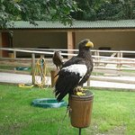 Sea Eagle at Duncombe Park IBPC