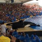 El espectáculo de las orcas.