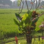 vue de notre chambre sur les rizières