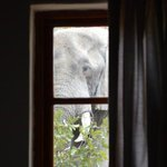 Een olifant bij het raam