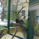 Панда-мама