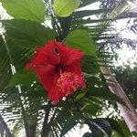 Hibiscus on grounds