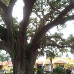 """The Old Senator"" live oak tree, so called because it's old, crooked, and shady. ;-)"