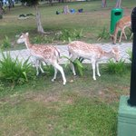 Deers in the garden