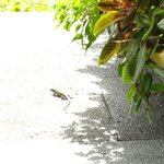 Há varios lagartos coloridos andando pelo hotel.