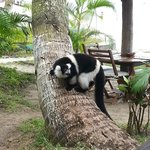A lemur at the hotel area