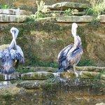 pelicans à la toilette