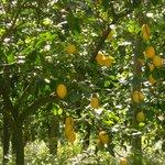lemon trees in the garden