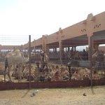 La marché de chameau de Al Ain
