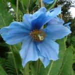 Poppy in Manfred's Garden