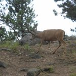Mule Deer right by our site