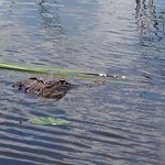 One of the alligators we saw on the airboat ride.