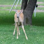 Deer enjoying some crabapples.