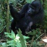black back of the Rushegura gorilla family