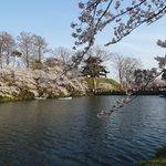 お堀端の桜(ハスも咲くそうです)