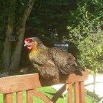 Une de nos poules en plein bronzage après la ponte du matin