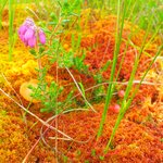 Heather, cranberry and fungi growing on cushions of sphagnum moss