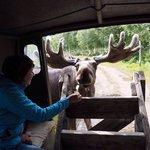 Riesen Spaß beim Elche füttern