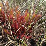 Insect eating sundew plant