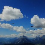 alpine choughs soaring in the alpine air