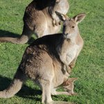 lots of kangaroos with joeys in their pouches