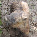 curious wombat