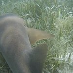 Nurse shark close up
