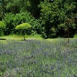 Notre champ de lavandes - our own lavander field