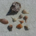 Types of shells we found with Samantha and Erik