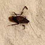 Palmeadow Bug
