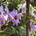 Orquídeas colgadas de un nisperero