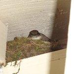 Cute little momma bird on her nest under the eve