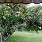 The orange tree from the kitchen's window