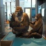 Museu de Ciências Naturais - Gorilas empalhados