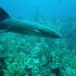 Tons of Nurse Sharks!