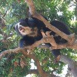 oso de anteojos hembra en el arbol