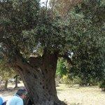 olivo di 500 anni