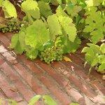 Виноград в саду в отеле
