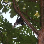 Howler monkey. We saw moms with babies. Adorable!!